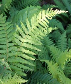 Dryopteris filix-mas - plants for dry shade, Gardener's World Circular Lawn, Dry Shade Plants, Garden Hedges, Fern Frond, Low Maintenance Garden, Outside Living, Plant Design, Flower Beds, Ferns