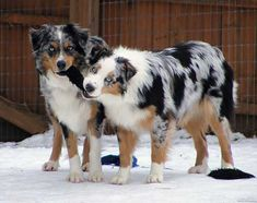 Aussie Weekly The Australian Shepherd. Gorgeous dog and a brilliant mind!The Australian Shepherd. Gorgeous dog and a brilliant mind! Aussie Shepherd, Australian Shepherd Puppies, Aussie Puppies, Cute Dogs And Puppies, I Love Dogs, Doggies, Blue Merle Australian Shepherd, Big Dogs, Mini Australian Shepherds