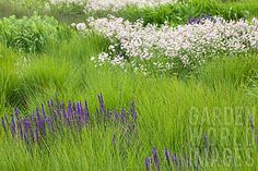 SALVIA_AND_MOLINIA_IN_THE_RIVERS_OF_GRASS_GARDEN_DESIGNED_BY_PIET_OUDOLF_AT_TRENTHAM_ESTATE
