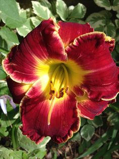 Great Balls of Fire Daylily 7/10/16