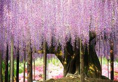 Datada de 1870, a Glicínia centenária – nome dado à espécie – ainda surpreende os turistas que passeiam pelo Ashikaga Flower Park, em Tochigi, no Japão. A elegante trepadeira é conhecida por ser a árvore mais bonita, além de ser a maior e mais antiga dessa espécie no arquipélago asiático.
