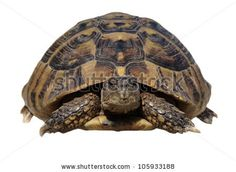 Turtle isolated on white background testudo hermanni, (Herman's Tortoise) by xpixel, via ShutterStock