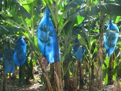 Once a leading producer of bananas, St. Lucia in the Eastern Caribbean has seen its European export markets lost to large companies based in Latin America. Latin America, Bananas, Caribbean, Lost, Banana