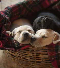 Snuggling puppies