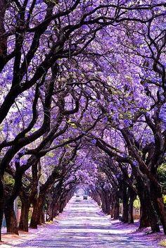 Es el jacaranda trees en Argentina. Estos árboles son famosamente conocidos por allí de color púrpura vibrante.
