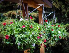 How To Keep Your Wave Petunias Blooming And Booming! Planting Asparagus Crowns, Asparagus Plant, Hanging Flower Baskets, Hanging Plants, Diy Hanging, Geranium Care, Petunia Plant, Indoor Plant Wall, Compost Tea