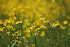 Buttercup, Ranunculus, Meadow, Yellow