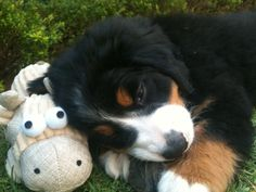 Bernese Mountain dog Dakota and her baby!