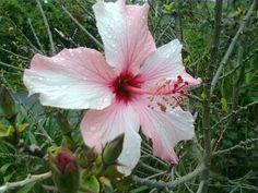 26 Oct 2012 Hibiscus