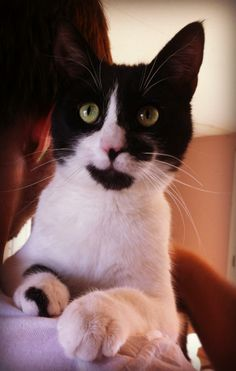 Meet Abner a Petfinder adoptable Domestic Short Hair-black and white Cat | Lubbock, TX | Abner is a one year old male domestic short hair. He is very playful, but will cuddle too! He loves...
