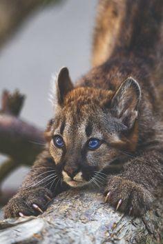 Young Puma Cub Sharpening His Claws.