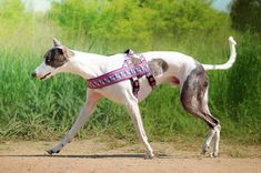 Amazing light purple norway harness anti escape, chevron. For dog, sighthounds, pugs, bulldogs, Italian greyhound, maltipoo, poodle, whippet