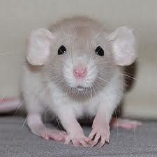 Fancy rats as pets - photo#23