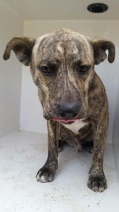 CHIEF - ID#A463126 - loxated at Harris County Animal Shelter in Houston, Texas - 1 year old Male Lab Retriever/Boxer mix - at the shelter since July 05, 2016.
