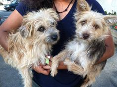 #A474553 & #A474561 BONDED! Release date 10/23  #A474553 I am a male, tan Terrier mix. Shelter staff think I am about 2 years old. I have been at the shelter since Oct 16, 2014.  —  City of San Bernardino Animal Control-Shelter. https://www.facebook.com/photo.php?fbid=10203775388842766&set=a.10203202186593068&type=3&theater