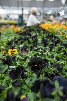 Fall Planting, Citrus Heights, Flower Beds, Pansies, Planters, Bloom, Seasons, Spring, Flowers