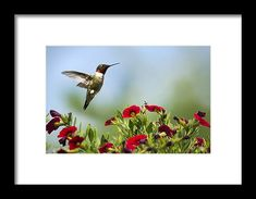 Hummingbird Frolic With Flowers Framed Print by Christina Rollo.  All framed prints are professionally printed, framed, assembled, and shipped within 3 - 4 business days and delivered ready-to-hang on your wall. Choose from multiple print sizes and hundreds of frame and mat options.