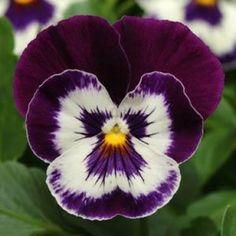 Panola Purple Face