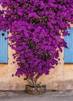 Bougainvillea Tree, Window Box Flowers, Baumgarten, Pinterest Garden, Beautiful Flowers Wallpapers, Garden Trees, Flowering Trees, Amazing Flowers, Backyard Landscaping