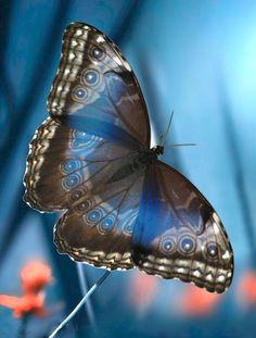 Beautiful Bugs, Beautiful Butterflies, Animals Beautiful, Butterfly Pictures, Butterfly Wings, Halloween Wings, Butterfly Species, Moth Caterpillar, Chenille