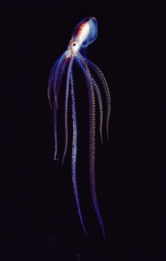Does an octopus have a soul? - (NGS Picture ID: 1145414)