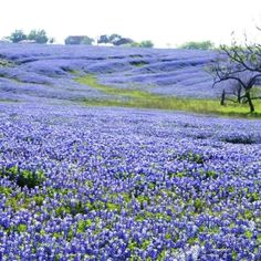 Beautiful Texas bluebonnets.