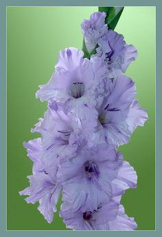 Beautiful Flowers Images, Flower Images, Exotic Flowers, Amazing Flowers, Pretty Flowers, Colorful Flowers, Purple Flowers, Gladiolus Bulbs, Gladiolus Flower