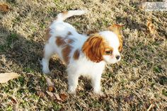 Cavalier King Charles Spaniel Puppy for Sale: Cavalier King Charles Spaniel for sale - 7e15ce92-f161