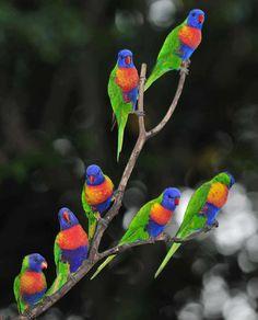 Australian Rainbow Lorikeets gathered on tree, at Byron Bay in Australia.