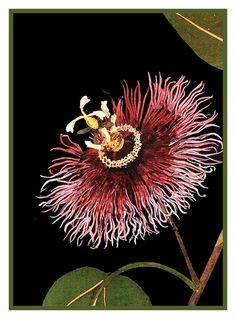 Passion Flower detail # 1 by Mary Delany Counted Cross Stitch or Counted Needlepoint Pattern