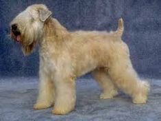 Image result for wheaten terrier