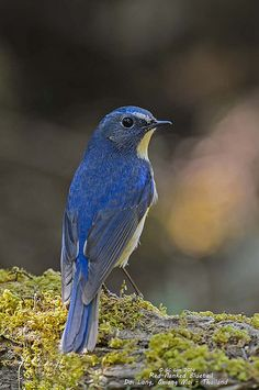 The red-flanked bluetail, also known as the orange-flanked bush-robin, is a small passerine bird that was formerly classed as a member of the thrush family Turdidae, but is now more generally considered to be an Old World flycatcher, Muscicapidae.