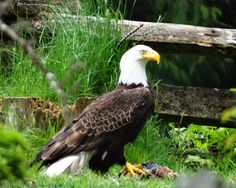 Bald Eagle Family on Their Kill~ See: http://cindyknoke.com/2014/05/08/bald-eagle-family-on-their-kill/