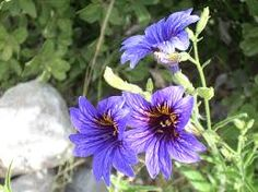 Image result for Salpiglossis sinuata
