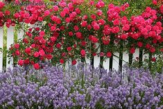 I want a fence so bad around our front yard! fences with flowers White Picket Fence, White Fence, Picket Fences, Beautiful Roses, Beautiful Gardens, Beautiful Images, Landscape Curbing, Bloom Where You Are Planted, Garden Trees