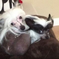 I really want a chinese crested...