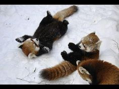 Red pandas playing in the snow.so much cute! Cute Baby Animals, Animals And Pets, Funny Animals, Pandas Playing, Panda Love, Spirit Animal, Animals Beautiful, Animal Pictures, Kawaii
