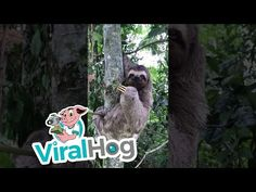 Helping a Sloth Cross the Road Sloth, Crosses, Funny Animals, Rio, Youtube, Sloth Animal, Sloths, Funny Animal, Hilarious Animals