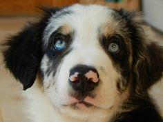 #bordercollie #bluemerletricolourbordercollie #bluemerle #blueeyes #dog #puppy #puppies #pup #pinknose #puppylove