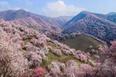 Como os damasqueiros de Xinjiang são a nova coqueluche do turístico de natureza da China.