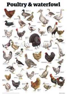 Poultry & waterfowl, Guardian Wallchart Prints from Easyart.com