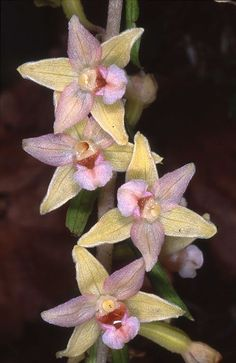Epipactis greuteri - Another Color-form