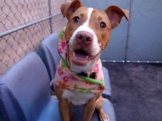 SAFE 03/30/15!  Was TO BE DESTROYED - 03/28/15 Manhattan Center -P  My name is TESLA. My Animal ID # is A1030131. I am a female red and white am pit bull ter mix. The shelter thinks I am about 8 MONTHS old. For more information on adopting from the NYC AC&C, or to find a rescue to assist, please read the following: http://urgentpetsondeathrow.org/must-read/