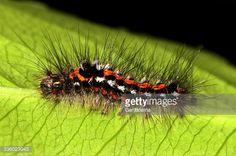 Photo : Yellow-tail Moth Caterpillar