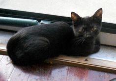 Meet Janis Joplin, a Petfinder adoptable Domestic Short Hair-black Cat | Leitchfield, KY | Janis Joplin's foster Mom describes her as a loving, sweet, petite lady that enjoys talking a lot....