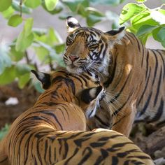 The affectionate tigress, Noor with one of her female cubs. Ranthambore National Park, India. •• Haresh de Soysa Photography ••