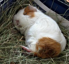 sweet sleeping guinea pig