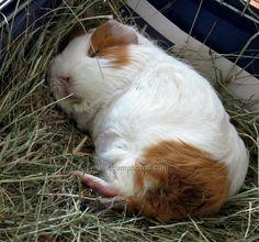 Guinea pig heaven...asleep in the hay