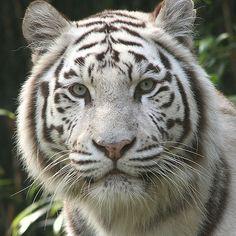 White tiger | White Tigers - white-tiger Photo