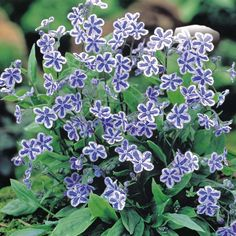 Image result for omphalodes starry eyes